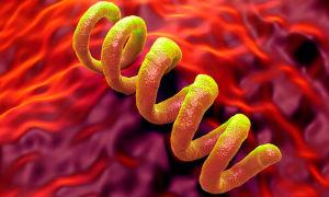 Бактерия трепонемы: как выглядит, пути и симптомы заражения
