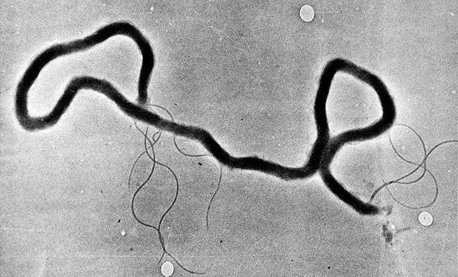 Бактерия-паразит